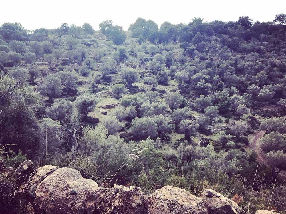 Olivenbäume Sierra de Tramuntana mallorca