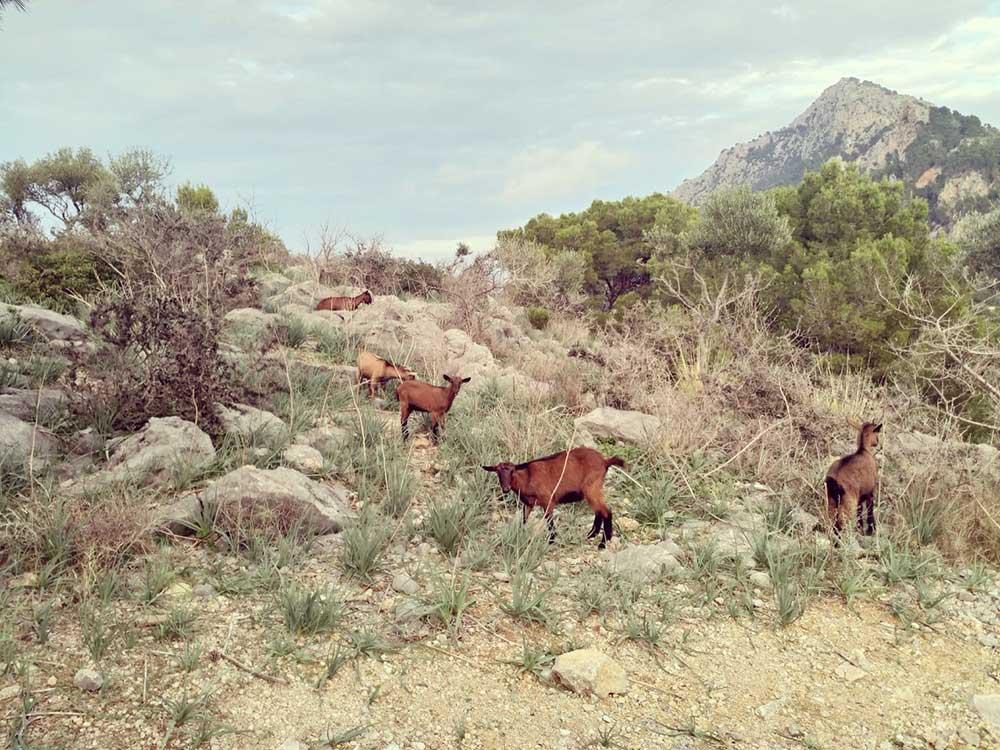 goats, ziegen, cabras, sierra de tramuntana mallorca