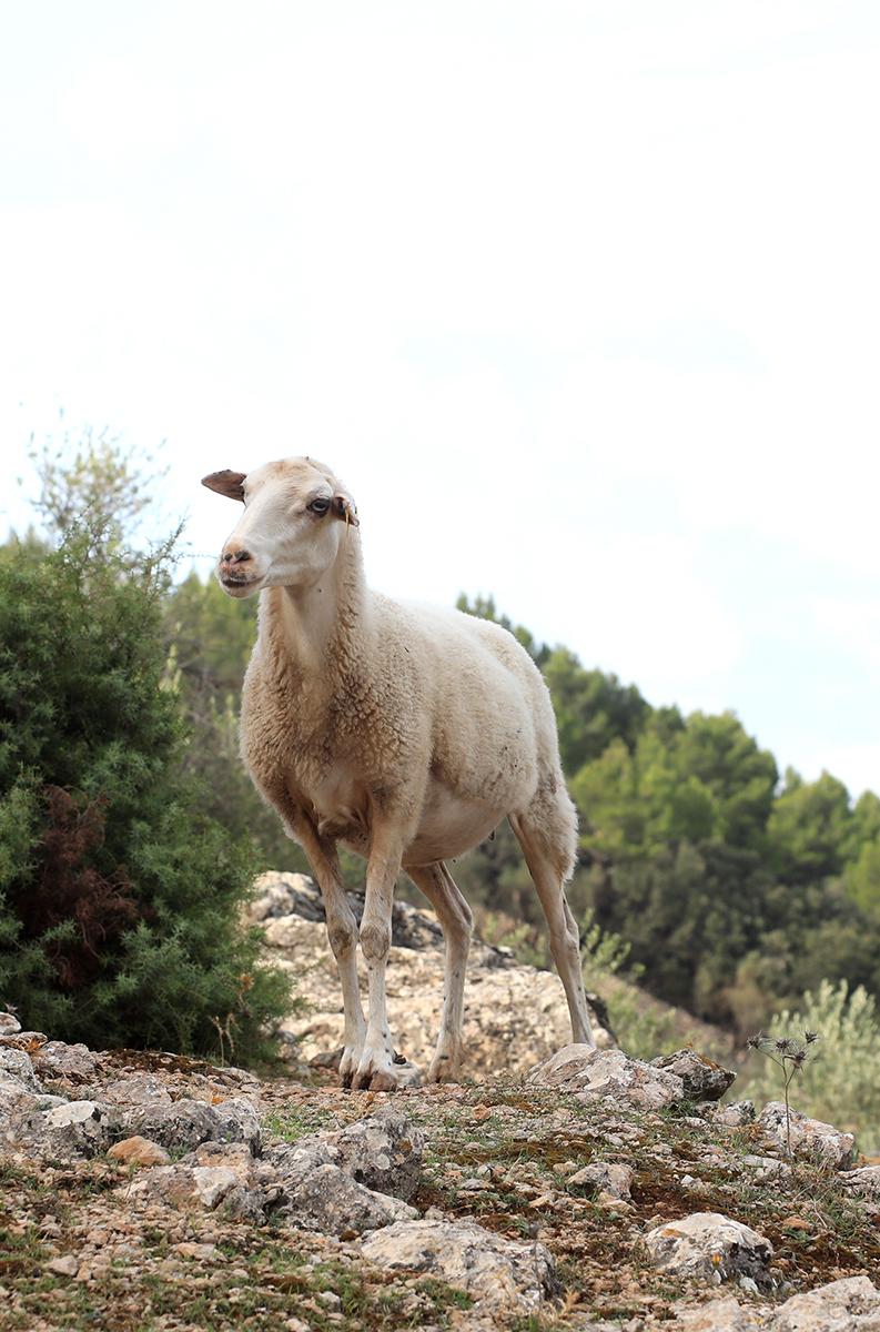 Espanolita_SonRullan_retreat.mallorca.sheep