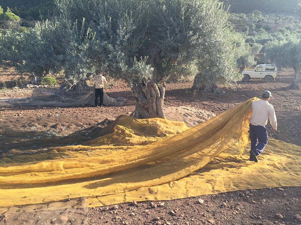 son.moragues.gin.ginebra.experience.tasting.shops.mallorca-artesanal.casita.olivar.tienda.valldemossa.local.cosecha.olive.harvest