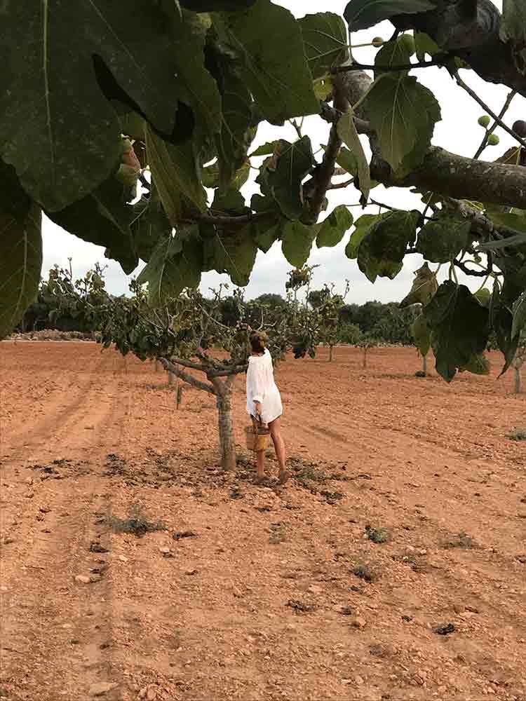 finca.son.mut.nou.figtree.figs.plantation.mallorca.experiencia.pick.fresh.fruit.trees