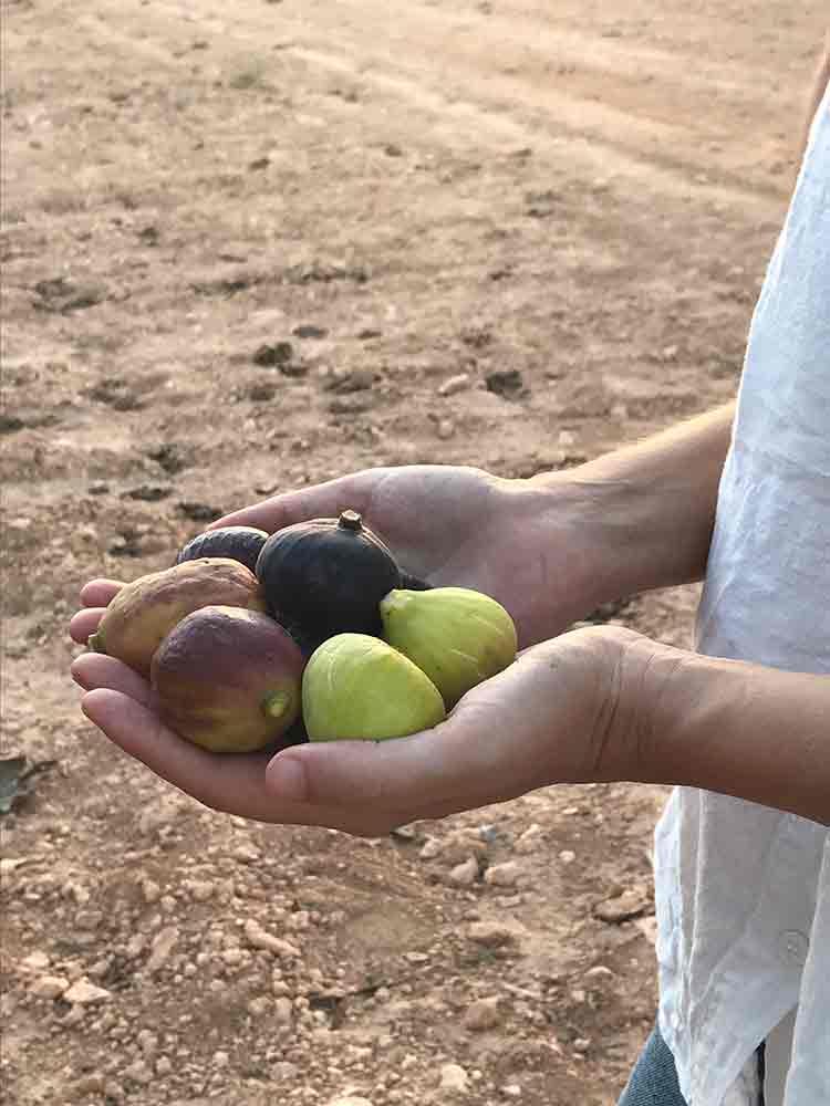 finca.son.mut.nou.figtree.figs.plantation.mallorca.experiencie.frische.fruechte.baum