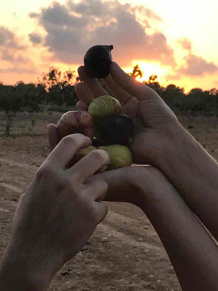 finca.son.mut.nou.figtree.figs.plantation.mallorca.experiencie.pick.fresh.fruit.trees