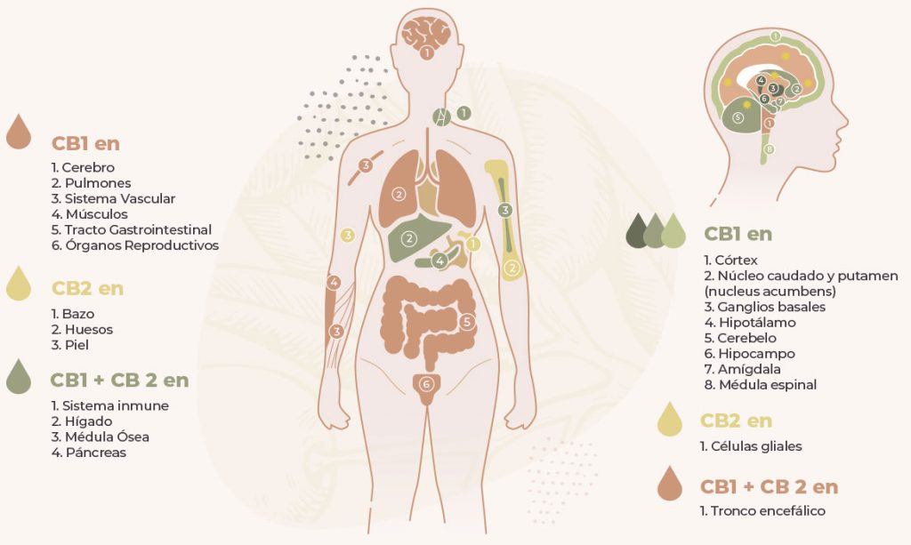 ALMA.aceite.CBD.beneficios.oliva.Mallorca.nature.medecine.remedy.olive.oil.oscar.beneficios.benefit
