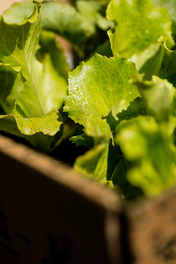 hortus.domi.box.mallorca.plant.delivery.eco.grow.your.own.seeds.sustainable.organic.gardening.planteles.calabaza.ecologico.lechuga.salad
