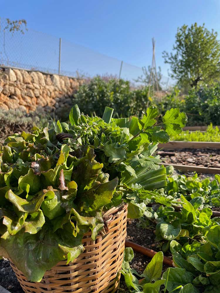 hortus.domi.box.mallorca.plant.delivery.eco.grow.your.own.seeds.sustainable.organic.gardening.planteles.calabaza.ecologico.soberania.alimentaria