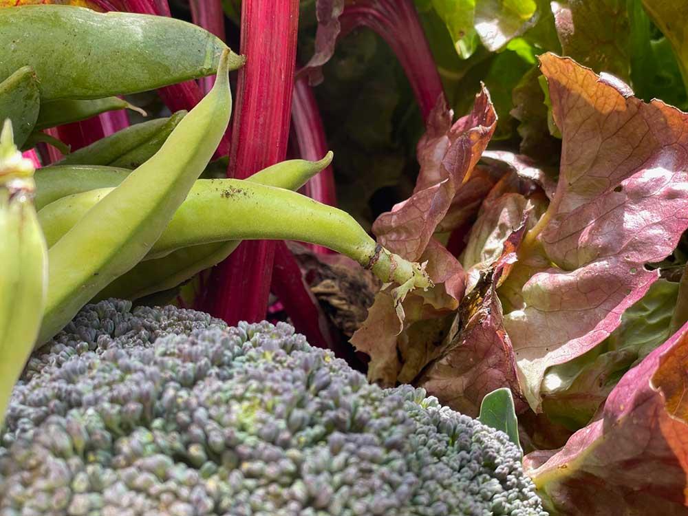 hortus.domi.box.mallorca.plant.delivery.eco.grow.your.own.seeds.sustainable.organic.gardening.planteles.calabaza.ecologico.veggie.garden.judia.brocoli