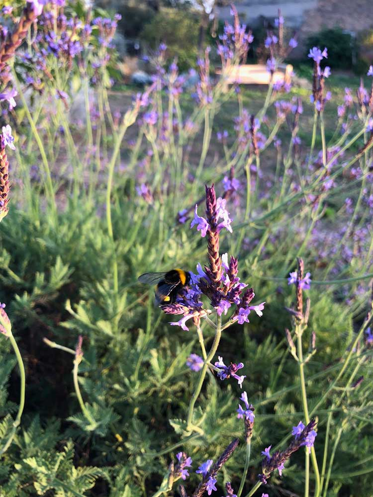 hortus.domi.box.mallorca.plant.delivery.eco.grow.your.own.seeds.sustainable.organic.gardening.planteles.calabaza.ecologico.veggie.garden.lavanda.bees.abejas